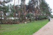 Dauniškio parko pušynas