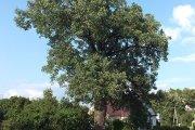 Medis K. Ladygos gatvėje