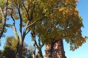Medis prie Kristaus Žengimo į dangų bažnyčios varpinės