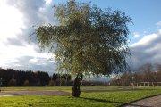 Medis prie Utenos Adolfo Šapokos gimnazijos stadiono