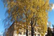 Rudeninis medis prie Utenos ''Saulės'' gimnazijos