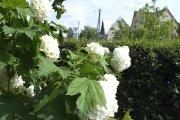 Žydintys augalai prie Utenos Adolfo Šapokos gimnazijos