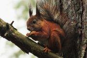Voverė Vyžuonos parke