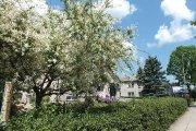 Žydintys augalai Vilniaus gatvėje