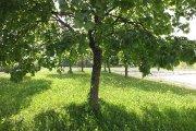 Medis prie Adolfo Šapokos gimnazijos
