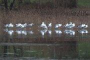 Paukščiai ant Dauniškio ežero