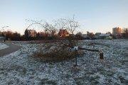 Bebrų nugriaužtas medis Vyžuonos parke