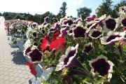 Gėlės ant Vyžuonos upelio tilto