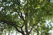 Medis prie Utenos kolegijos Medicinos fakulteto