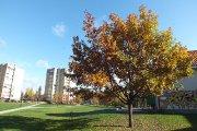 Rudeninis medis prie Utenos kultūros centro