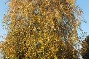Rudeninis medis prie Utenos Adolfo Šapokos gimnazijos