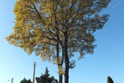 Rudeninis medis Birutės gatvėje