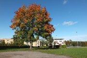 Medis prie poliklinikos