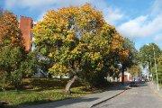 Medis Gedimino gatvėje