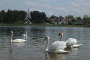 Gulbės Dauniškio ežere