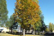 Rudeniniai medžiai prie Utenos apskrities ligoninės