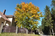 Rudeninis medis prie Vyžuonos parko