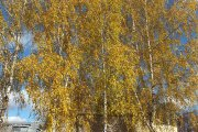 Rudeniniai medžiai miesto sode