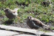 Žvirbliai