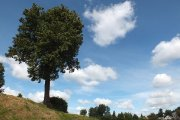 Medis prie ''Saulės'' gimnazijos
