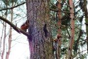 Voverės Vyžuonos parke