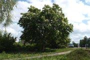Medis Dauniškio parke