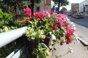 Gėlės ant Krašuonos upelio tilto