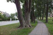 Medžiai K. Ladygos gatvėje