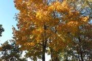 Rudeninis medis prie ''Saulės'' gimnazijos
