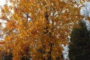 Rudeniniai medžiai prie ''Saulės'' gimnazijos