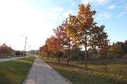 Rudeniniai medžiai Aukštaičių gatvėje