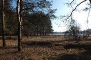 Pušynas prie Vyžuonaičio ežero